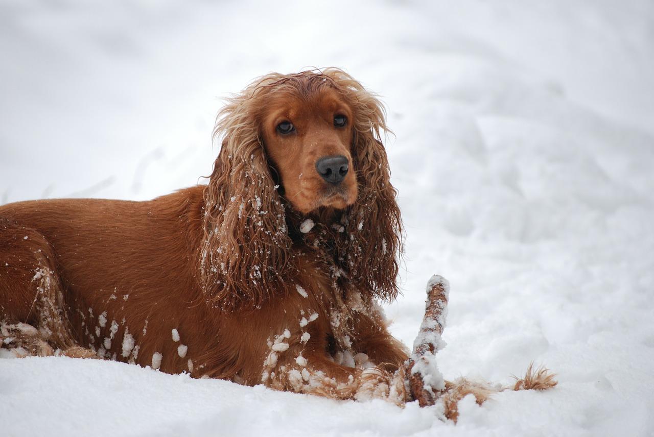 Cieczka U Psa Ile Trwa Objawy I Zachowania Podpowiadamy